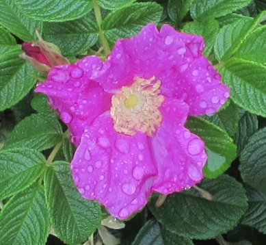 Beach Rose After Rain (2)